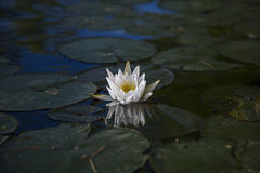 White water lily reflected in water. Of Squam River, Ashland, New Hampshire Stock Image