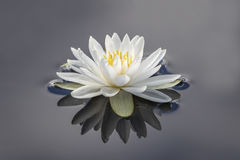 White Water Lily and Reflection Royalty Free Stock Photography