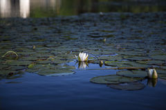 White water lily and reflection in blue water. White water lily reflected in blue water of Squam River, Ashland, New Hampshire Stock Photos