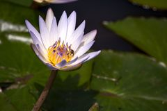 White water lily with some bug royalty free stock image