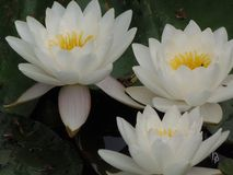 White water lily. Royalty Free Stock Photography