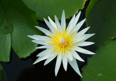 White water lily. Top view of white water lily blooming stock images