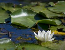 White water lily VIII. White water lily with green leafs landscape stock images