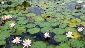 White water-lily on water. stock footage