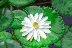 White Water Lily on water Stock Images