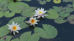White water-lily on water. White water-lilies on green leaves float on water stock footage