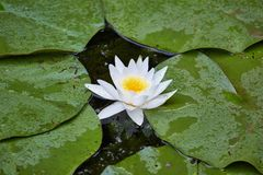 White Water Lily. Closeup in a lake stock images