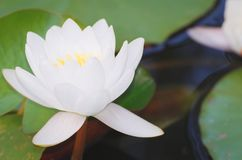 White Water Lily. Flower with Green Leaves Closeup Royalty Free Stock Photography