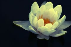 White water lily. In a summer lake outdoor Stock Photos