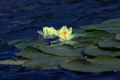 White water lily. In a summer lake outdoor Royalty Free Stock Photos
