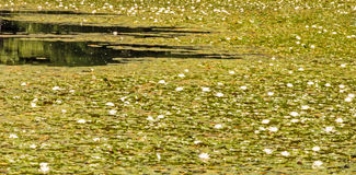 White water lily& x27;s covering pond surface Royalty Free Stock Image