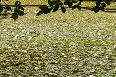 White water lily& x27;s covering pond surface Royalty Free Stock Photos