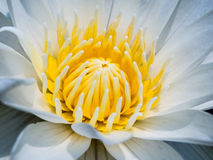 White water lily. With the Yellow flower core Stock Photos