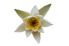 White water lily with yellow pollen isolated. Beautiful white water lily with yellow pollen isolated on white Stock Photo