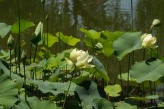 White water lotus Stock Photos