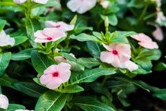 White Watercress flowers Royalty Free Stock Photo