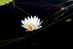 White waterlily with black background Stock Images