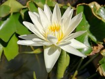 White waterlily​ with burned leaves in the background stock photos