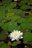 White Waterlily Royalty Free Stock Photography