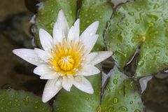 White waterlily. Close up Stock Photography