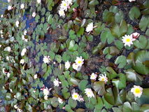 White waterlily `carpet` in a pond Stock Photography