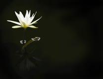 White waterlily Royalty Free Stock Photo
