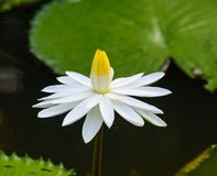 White waterlily flower with green leaves royalty free stock photos