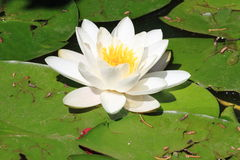 White waterlily flower, Nymphaea Alba Royalty Free Stock Photo