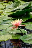 White waterlily flower on the pond in garden stock photography