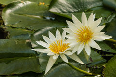 White waterlily flowers Royalty Free Stock Photography
