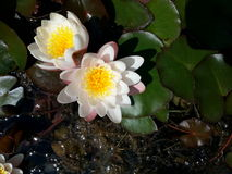 White waterlily. Handsome white waterlily flowers growing in a pond Stock Photo