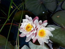 White waterlily. Handsome white waterlily flowers growing in a pond closeup Royalty Free Stock Photography