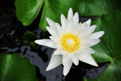 White Waterlily or Lotus Flower. (Nymphaea lotus) in a Garden Pond Stock Photography