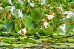 White waterlily and many green leaves Royalty Free Stock Photo