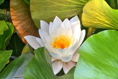 White waterlily and many green leaves Stock Image