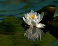 White waterlily Nymphaea albaamong leaf. On lake in Sweden stock photo
