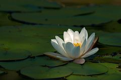 White waterlily Nymphaea albaamong leaf. On lake in Sweden royalty free stock image