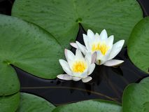 White waterlily Nymphaea albaamong leaf. On lake in Sweden stock photos