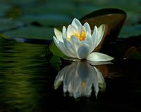 White waterlily Nymphaea albaamong leaf. On lake in Sweden stock image
