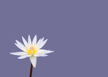White waterlily Stock Images