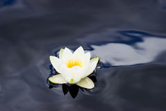 White Waterlily Stock Photos