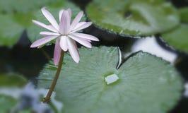 White Waterlily royalty free stock photos