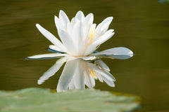 White Waterlily with reflection Royalty Free Stock Image