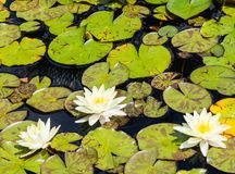 White Waterlilys in Pond stock photo