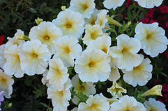 White wave  petunias with yellow centers Royalty Free Stock Image