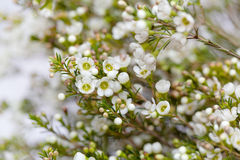 White Wax flower in natural background Royalty Free Stock Photos
