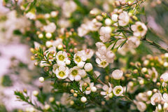 White Wax flower in natural background Royalty Free Stock Images