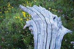 White, weathered tree trunk Royalty Free Stock Photography