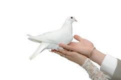 White wedding dove. Bride and groom holding beautiful dove Royalty Free Stock Image