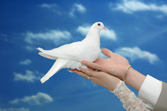 White wedding dove. Bride and groom holding beautiful dove Royalty Free Stock Images